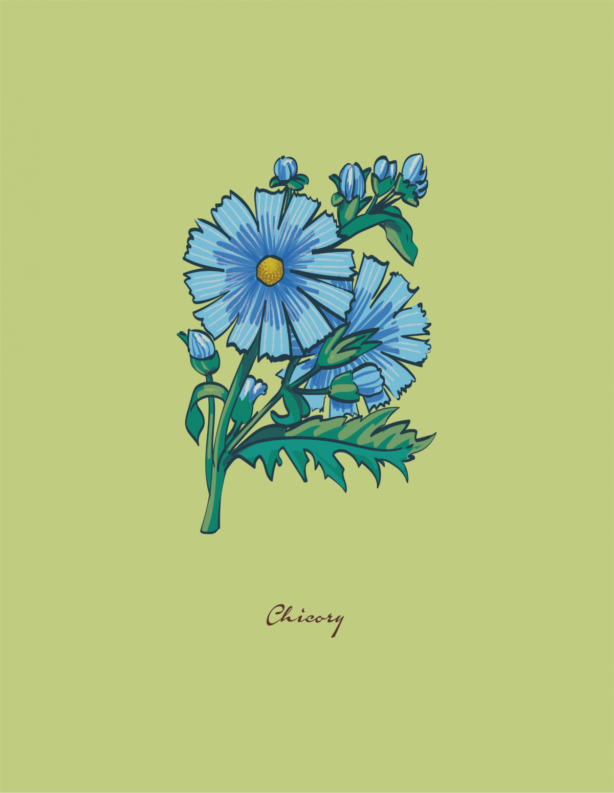 botanical illustration of a Chicory flower